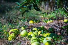 Зрелые плоды зеленых яблок падая вниз от ветвей yo стоковое фото rf