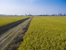 Зрелые рисовые поля стоковое изображение
