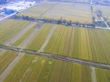 Зрелые рисовые поля стоковое фото rf