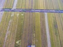 Зрелые рисовые поля стоковые фотографии rf