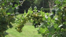 Зрелые свежие зеленые крыжовники в саде сток-видео