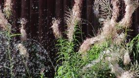 Зрелые семена летая от пушистого куста травы вербы акции видеоматериалы