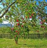 Зрелые сливы вися на ветви сливы Стоковая Фотография