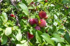 Зрелые сливы на дереве с яркими ыми-зелен листьями и запачканным плодоовощ Стоковая Фотография RF