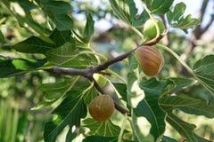 Зрелые смоквы на ветвях Стоковые Изображения