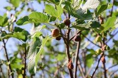 Зрелые смоквы на ветвях Стоковая Фотография RF