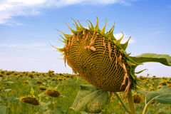 зрелые солнцецветы стоковое изображение