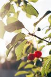 Зрелые сочные вишни на дереве Стоковое фото RF