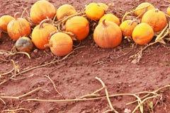 Зрелые тыквы на поле Стоковое фото RF