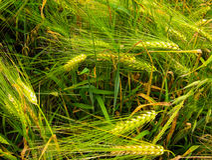 Зрелые уши пшеницы на крупном плане поля Стоковое Изображение RF
