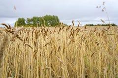 Зрелые уши пшеницы на поле в осени Стоковое фото RF