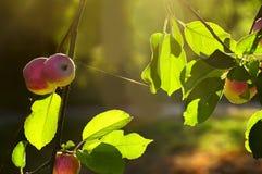 Зрелые яблоки в свете дерева на ветвях дерева в саде Стоковое Изображение RF