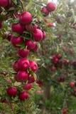 Зрелые яблоки на ветвях дерева в саде Селективный фокус Стоковые Изображения RF