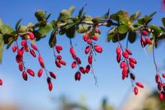 Зрелые ягоды барбариса Стоковое Изображение RF