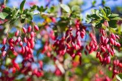 Зрелые ягоды барбариса Стоковые Изображения