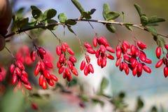 Зрелые ягоды барбариса Стоковое Изображение