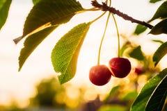 Зрелые ягоды вишни в желтом backlight Стоковое Изображение RF