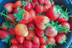 Зрелые ягоды и клубника листвы Клубники на заводе клубники на плантации клубники Стоковые Изображения