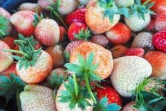 Зрелые ягоды и клубника листвы Клубники на заводе клубники на плантации клубники Стоковая Фотография