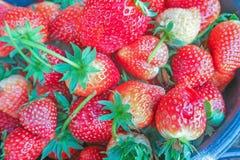 Зрелые ягоды и клубника листвы Клубники на заводе клубники на плантации клубники Стоковое Фото