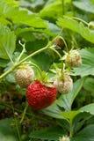 Зрелые ягоды и клубника листвы Клубники на клубнике Стоковое Изображение RF