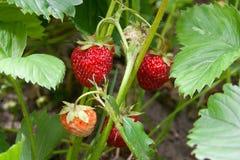 Зрелые ягоды и клубника листвы Клубники на strawberr Стоковое Изображение RF