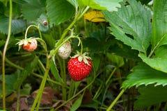 Зрелые ягоды и клубника листвы Клубники на strawberr Стоковое Изображение