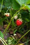 Зрелые ягоды и клубника листвы Клубники на strawberr Стоковые Фотографии RF