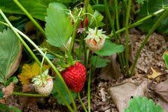 Зрелые ягоды и клубника листвы Клубники на strawberr Стоковое Фото