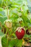 Зрелые ягоды и клубника листвы Клубники на strawberr Стоковые Фото