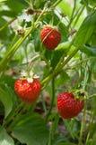 Зрелые ягоды и клубника листвы Клубники на strawberr Стоковые Изображения RF
