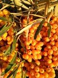 Зрелые ягоды крушины моря на дереве стоковое фото