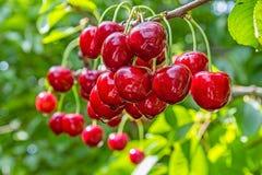 Зрелые ягоды сладостной вишни на ветви, конец-вверх Стоковые Изображения