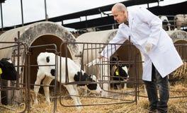 Зрелый ветеринарный техник работая с milky коровами в cowhouse Стоковое Изображение