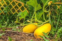 Зрелый желтый цукини с цветками в саде 2 овоща желтых сквоша Стоковые Изображения RF