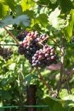 Зрелый и сочный пук голубых виноградин в листах зеленого цвета стоковое изображение
