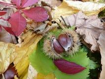 Зрелый каштан в шиповатой корке на красочных листьях осени стоковые изображения