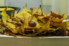 Зрелый каштан на куче золотых листьев Стоковые Изображения
