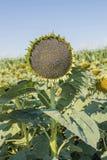 Зрелый конец-вверх солнцецвета на предпосылке с зрелым полем с солнцецветами против Стоковые Фото