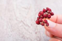 Зрелый одичалый плодоовощ красного цвета держал в руке Стоковое Изображение