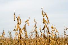 Зрелый органический культивируемый крупный план стручков сои Стоковые Фото