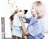 Зрелый парикмахер женщины обтирает щенка афганской борзой в hairdres Стоковое Изображение