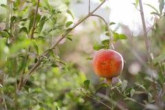 Зрелый плодоовощ гранатового дерева на ветви дерева Стоковые Изображения RF
