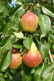 Зрелый плодоовощ груши на ветви дерева Стоковые Изображения