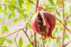 Зрелый плодоовощ треснул гранатовое дерево на ветви с зелеными листьями Фото Конца-вверх Стоковая Фотография RF