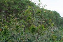Зрелый плод хурм на дереве стоковое изображение rf
