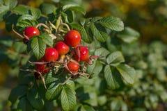 Зрелый плод шиповника на ветви ягоды Собак-Роза красные Дикая роза стоковое фото rf
