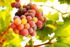 Зрелый пук виноградины Стоковые Фотографии RF