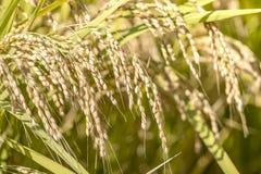 Зрелый рис в осени в солнечности Стоковые Фотографии RF