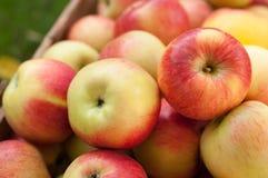 Зрелый сбор яблока Стоковые Фотографии RF